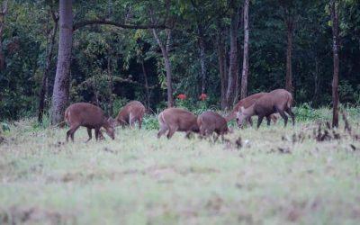 วันที่  10-11 กรกฎาคม  2564 ขสป.พนมดงรัก ฝ่ายวิชาการและเจ้าหน้าที่โครงการพัฒนาศักยภาพแหล่งท่องเที่ยวเรียนรู้ด้านสัตว์ป่า (กิจกรรมดูนก) ทำการสำรวจนกและสัตว์ป่าบริเวณเส้นทางจุดชมวิวช่องพระพะลัย-น้ำตกสามหลั่น-ผาชมภูเขียว-ทุ่งกบาลกะไบ พบนก จำนวน 10 ชนิด และทำการติดตั้งกล้องดักถ่ายสัตว์ป่า บริเวณทุ่งกบาลกะไบ พบเนื้อทราย ออกหากินในทุ่งหญ้า ประมาณ 20 ตัว